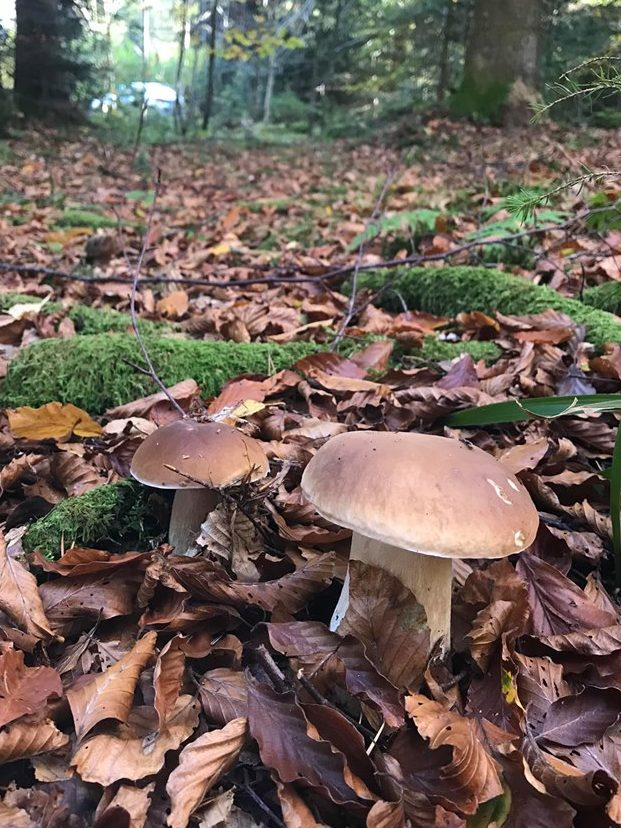bellissimi funghi porcini
